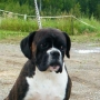 Nices  BOXER PUPPIES price reduce