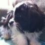 2 Shih Tzu Puppies! Great Price! So cute! NonShedding!