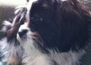 2 shih tzu puppies! great price! so cute! nonshedding!