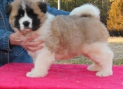 Akita puppies for sell