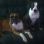 German Boxer mixed with American BullDog (scott) Puppy's