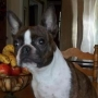 ******ONE BEAUTIFUL MALE FRENCHTON PUPPY******