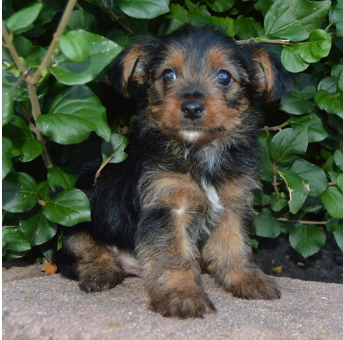 Yorkshire terrier for free adoption